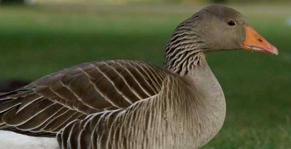 What's good for the goose…